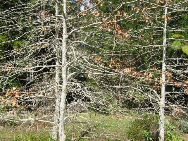 Quercus bones