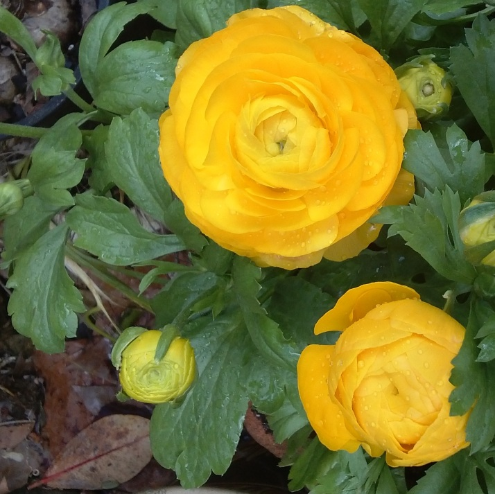 Golden sun ranunculus